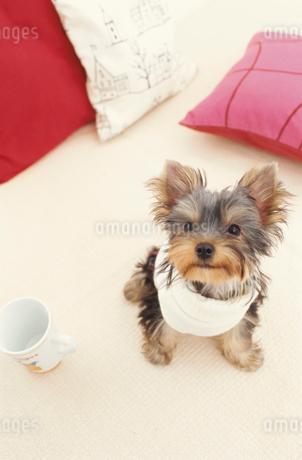 服を着た犬(ヨークシャテリア)とマグカップとクッションの写真素材 [FYI01774757]