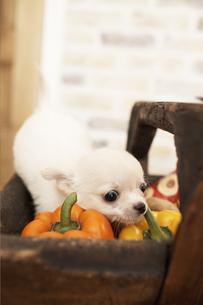 野菜の入った木の箱に乗っかる犬(チワワ)の写真素材 [FYI01774828]