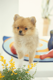 犬(ポメラニアン)と小物と黄色い花の写真素材 [FYI01774846]