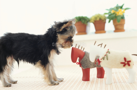 犬(ヨークシャテリア)と小物と植物の写真素材 [FYI01774877]