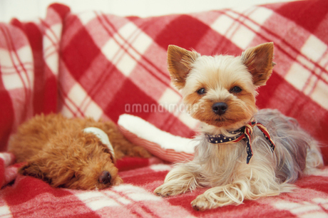 2匹の犬(トイプードル ヨークシャテリア)の写真素材 [FYI01774912]