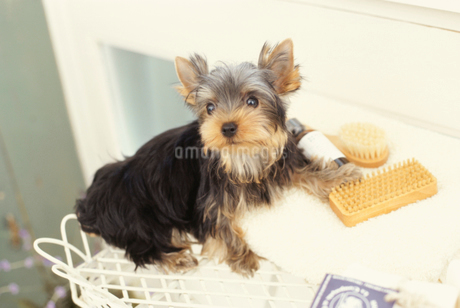 犬(ヨークシャテリア)と小物の写真素材 [FYI01774931]