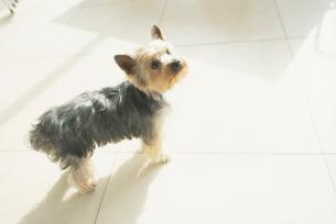 犬(ヨークシャテリア)の写真素材 [FYI01775043]