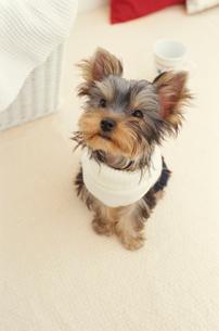 服を着た犬(ヨークシャテリア)とマグカップの写真素材 [FYI01775113]