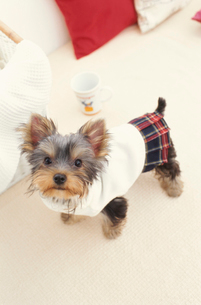 服を着た犬(ヨークシャテリア)とマグカップの写真素材 [FYI01775210]