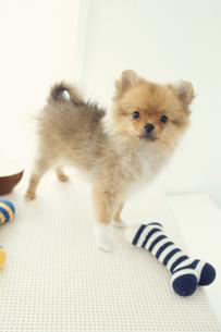 骨の形のおもちゃと犬(ポメラニアン)の写真素材 [FYI01775237]