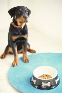 犬(ロットワイラー)と水色のマットの上に置かれた餌の写真素材 [FYI01775241]