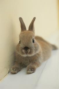 ウサギ(ネザーランドドワーフ)の写真素材 [FYI01775316]