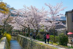 哲学の道と桜と琵琶湖疏水の写真素材 [FYI01778056]