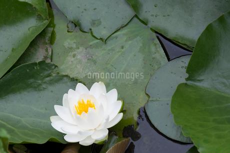 白いスイレンの花の写真素材 [FYI01778080]