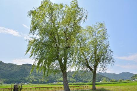 近江八幡の水郷と柳の木の写真素材 [FYI01778081]