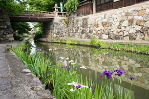 初夏の八幡堀,白雲橋とハナショウブの写真素材 [FYI01778124]