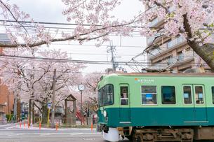 日本の桜風景 路面電車(京阪電車)と桜の写真素材 [FYI01778314]
