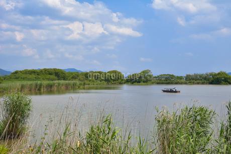 近江八幡の水郷 西の湖を行く和船と葦原の写真素材 [FYI01778327]