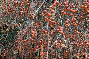 たわわに実った柿の実(野生)の写真素材 [FYI01778343]