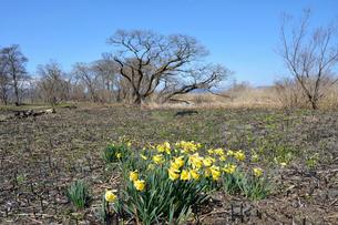 早春の琵琶湖畔とスイセンの写真素材 [FYI01778360]