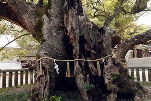 12月初冬 大山祇(おおやまづみ)神社の大楠の写真素材 [FYI01778388]