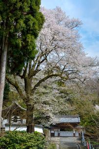 日本の桜風景 酒波寺と行基桜の写真素材 [FYI01778397]
