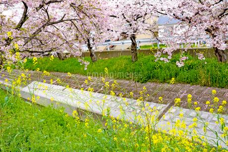 日本の桜風景 高田千本桜と菜の花の写真素材 [FYI01778441]
