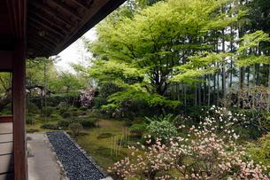4月 シャクナゲの宝泉院 京都大原の春景色の写真素材 [FYI01778552]