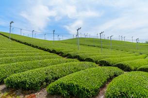 日本五大銘茶産地・朝宮の茶畑の写真素材 [FYI01778622]