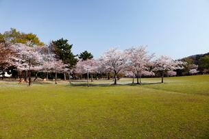 4月 桜の奈良公園 奈良の春景色の写真素材 [FYI01778626]
