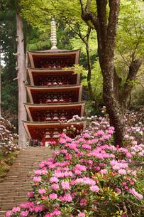 4月 シャクナゲの室生寺 奈良の春景色の写真素材 [FYI01778638]