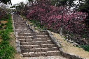 2月 今帰仁城(なきじんじょう)跡-寒緋桜(カンヒザクラ)咲く沖縄の写真素材 [FYI01778641]