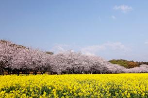 3月春 桜と菜の花の西都原(さいとばる)古墳公園の写真素材 [FYI01778650]