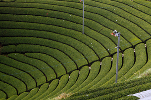 5月春 和束の茶畑 宇治茶の里の写真素材 [FYI01778666]
