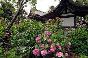 6月 アジサイの藤森(ふじのもり)神社 京都の夏景色の写真素材 [FYI01778669]