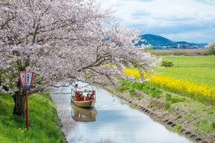 日本の桜風景 近江八幡水郷めぐりの船(ヨコ写真)の写真素材 [FYI01778681]