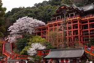 3月春 桜の祐徳稲荷神社の写真素材 [FYI01778711]