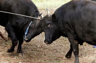 10月 隠岐の牛突き-隠岐の風物詩の写真素材 [FYI01778722]