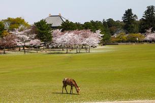 4月 桜と鹿の奈良公園 奈良の春景色の写真素材 [FYI01778723]