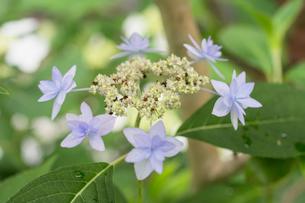 幻のアジサイと呼ばれるシチダンカ,七段花の写真素材 [FYI01778738]