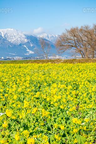 菜の花畑と雪の比良山系(タテ写真)の写真素材 [FYI01778756]