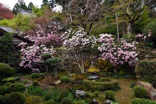 4月 シャクナゲの大原三千院 京都の春景色の写真素材 [FYI01778809]