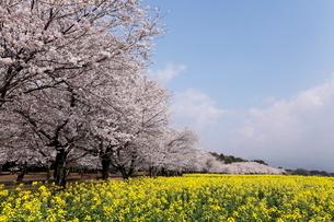 3月春 桜と菜の花の西都原(さいとばる)古墳公園の写真素材 [FYI01778820]