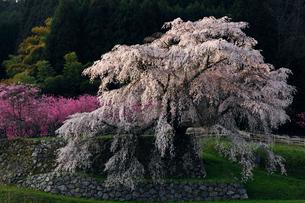 4月 又兵衛桜 奈良の春景色の写真素材 [FYI01778821]