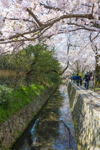 哲学の道と桜と琵琶湖疏水(タテ写真)の写真素材 [FYI01778838]