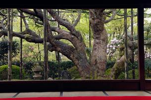 4月 シャクナゲの宝泉院 京都大原の春景色の写真素材 [FYI01778853]