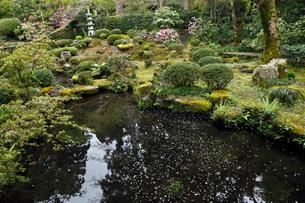 4月 シャクナゲの大原三千院 京都の春景色の写真素材 [FYI01778868]