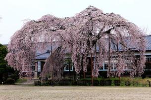 4月小雨,信州飯田の杵原(きねはら)小学校の枝垂れ桜の写真素材 [FYI01778874]
