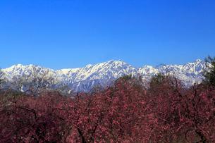 4月,残雪の北アルプスと信州小川村の満開の桜の写真素材 [FYI01778881]