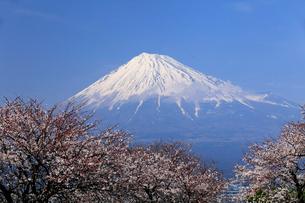 4月春,青空に映える残雪の富士山と雁公園の満開の桜の写真素材 [FYI01778885]