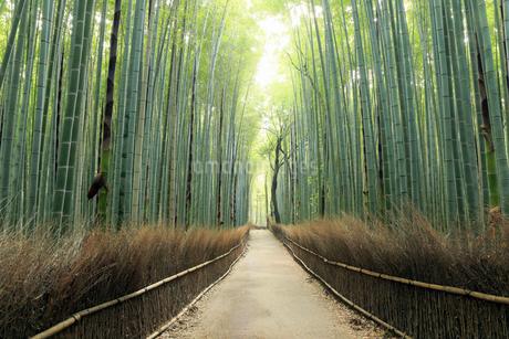 5月,新緑の竹林の道-京都嵯峨野の散策スポットの写真素材 [FYI01778910]