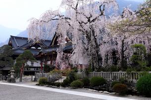 4月,身延山久遠(くおん)寺の満開の枝垂れ桜の写真素材 [FYI01778911]