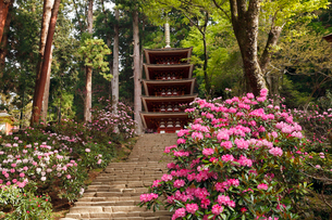 4月 シャクナゲの室生寺 奈良の春景色の写真素材 [FYI01778918]