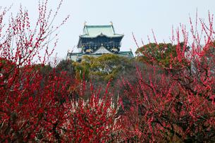 3月春 梅の大阪城 大阪の春景色の写真素材 [FYI01778948]
